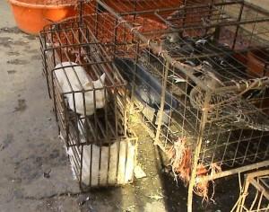 Katzen neben Enten in Käfigen vor ihrer Schlachtung. Das Foto ist auf einem ostasiatischen Markt gemacht worden.